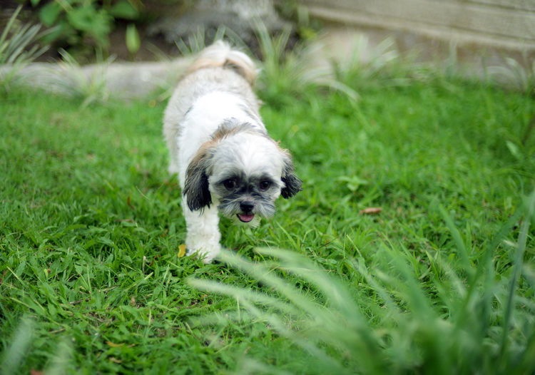 Animal Animal Themes Canine Dog Domestic Domestic Animals Field Grass Green Color Lap Dog Mammal No People One Animal Pets Plant Portrait Selective Focus Shih Tzu Small Young Animal