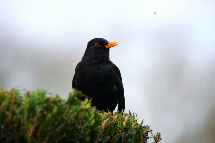 Bird Black Color Animals In The Wild One Animal Animal Wildlife Nature Blackbird Animal Themes Jardin Garden Oiseau Merle Birdsong