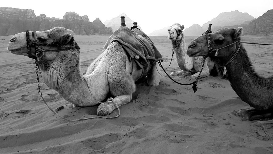 Panoramic view of a camels in desert