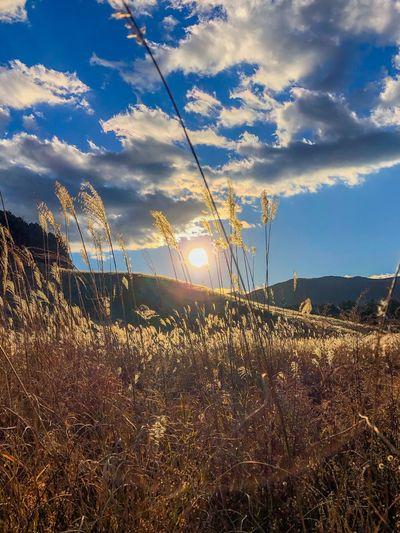少し小高い丘の上から。 Backlight Pampas Grass Sunset Silhouettes Sunset Lens Flare Sunlight Sun Sunbeam Field Nature Growth Tranquil Scene Day Sunset Outdoors Scenics Grass Tranquility No People Landscape Beauty In Nature Sky Plant