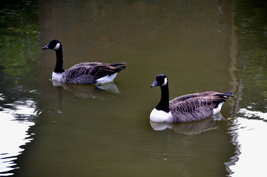 Canadian Geese Animal Themes Animals In The Wild Bird Lake Water Reflection Goose Togetherness Water Bird Swimming No People Nature Waterfront Geese Day Animal Wildlife Outdoors