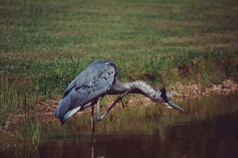 Gray Heron Cleaning Neck In Lake