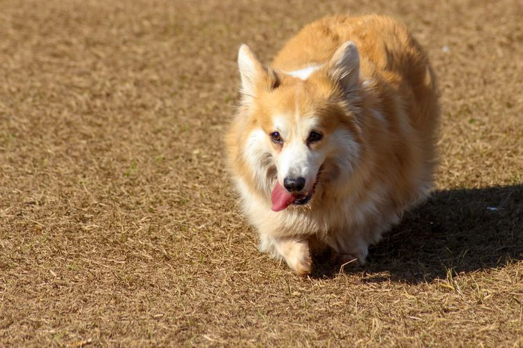bouncing corgi EyeEm Selects Pets Portrait Dog Protruding Puppy Cute Beauty Sunlight Sand Animal Hair Nose Pembroke Welsh Corgi Animal Tongue Animal Mouth Sticking Out Tongue Canine