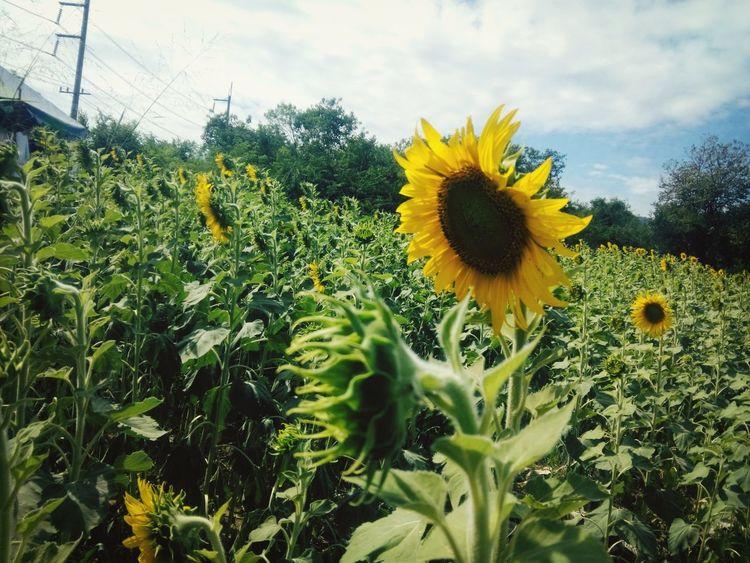 โปรดอยู่ตรงนี้ นานกว่านี้จะได้ไหม Relaxing Sunflowers Enjoying Life Flower Porn