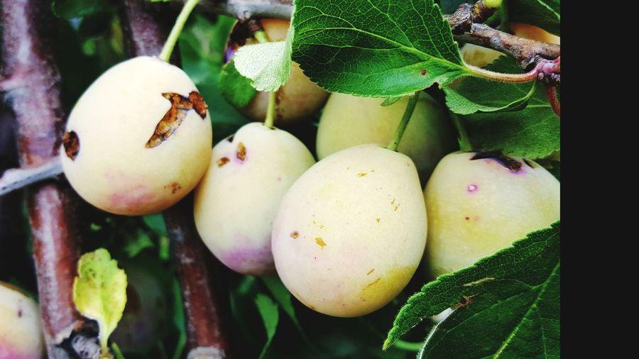ripe plums Organic Food Ripe Organic Food Plum Ripe Fruit Ripe Plum Fruit Tree Leaf Healthy Lifestyle Close-up Green Color Food And Drink Fruit Tree Orchard Juicy Unripe Raw Food