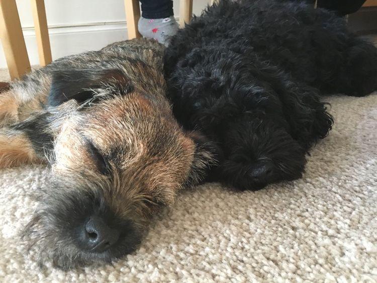 Maggie and Flora Border Terrier Pets Corner Pets