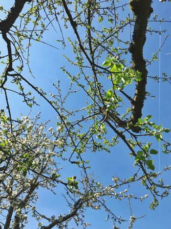 Plant Tree Low Angle View Sky Beauty In Nature Nature Branch Growth Clear Sky No People Day Leaf Plant Part Blue Sunlight Outdoors Flower Freshness Sunny