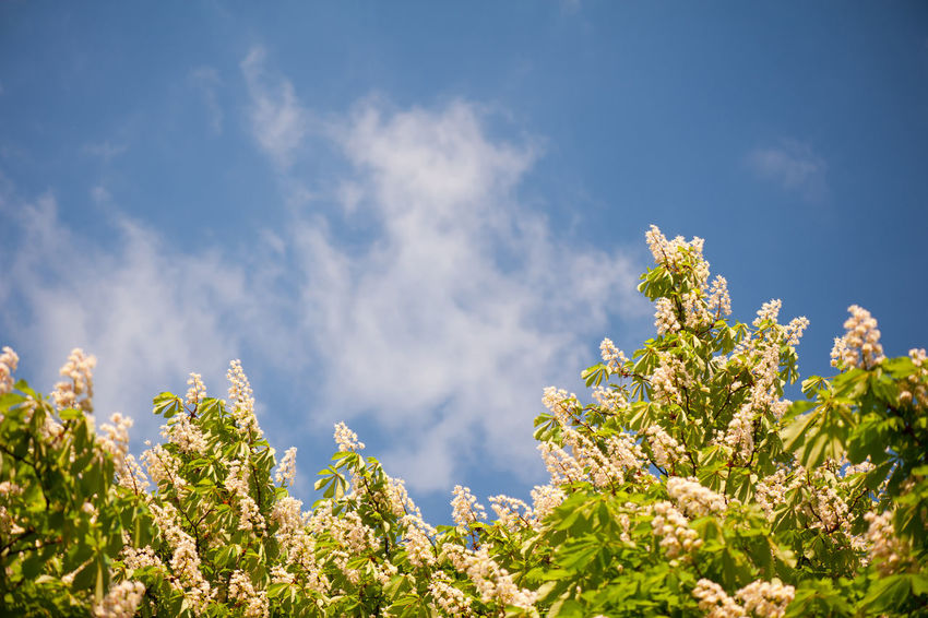 Blossoming Aesculus tree on blue sky in sunlight, rampant ornamental many flowers on tree. Photo taken in Poland in spring season, horizontal orientation. Aesculus Bloom Blooming Blossom Blossoming  Blossoms  Blue Sky Buckeye Chestnut Day Flower Flowering Flowers Horse Chestnut Horse Chestnut Tree Horsechestnut Leafage Nature No People Plant Rampant Scenics Sky Tree Trees