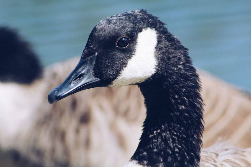 Close-up of canada geese