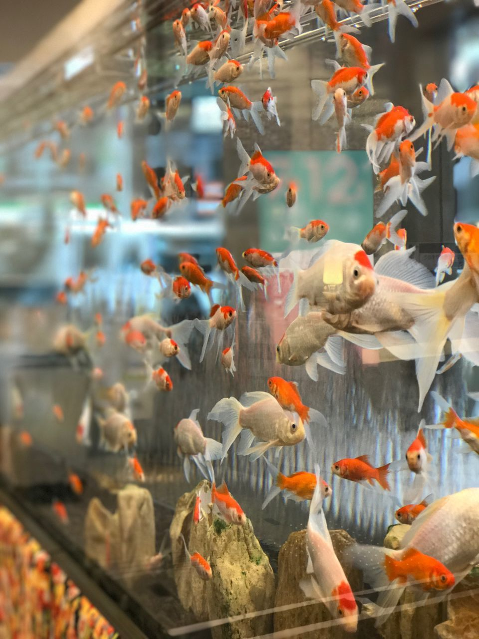water, large group of animals, fish, animal themes, swimming, koi carp, animals in the wild, group of animals, no people, carp, nature, goldfish, togetherness, day, sea life, close-up, indoors