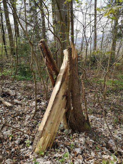 Tree nodded into itself. Dead Tree Tree Trunk Tree Bark Forest Wood Nodded Into Itself Tree Fallen Tree Woods WoodLand