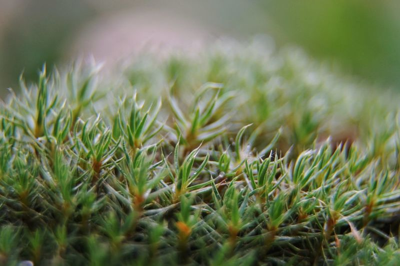 Maximum Closeness Growth Nature Green Color Macro Plant Close-up No People Outdoors Day Beauty In Nature Freshness Detail Remember The Hedghog Moss