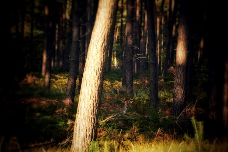 Auge in Auge mit einem Hirsch Deer Moments Deer Light And Shadow EyeEm Nature Lover Nature Photography Animal Themes Animal Animal Wildlife Animals In The Wild Landscape Between The Trees Tree Forest Tree Area Tree Trunk Forest Fire WoodLand Grass