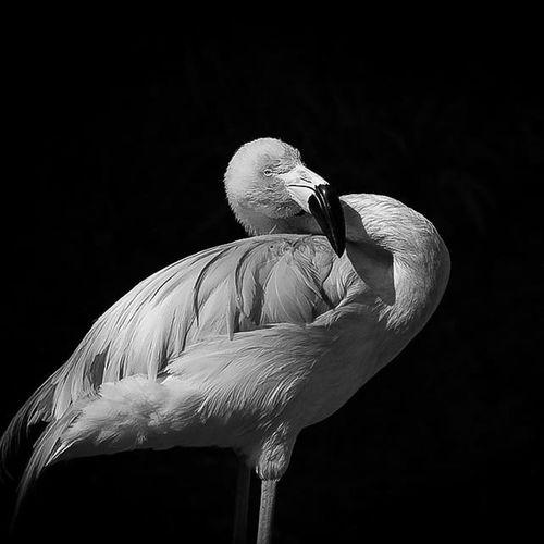 Flamingo Black