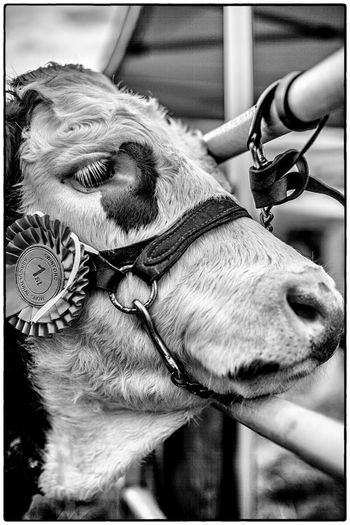Agricultural show in Swinford, Ireland. August 2017 - the champion Ireland Cow Blackandwhite Agriculture One Animal Domestic Animals Animal Themes Mammal Horse Bridle Day Close-up Livestock Focus On Foreground