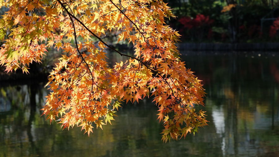 Close-up of autumnal tree by lake during autumn