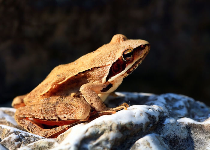 Side View Of Frog On Rock