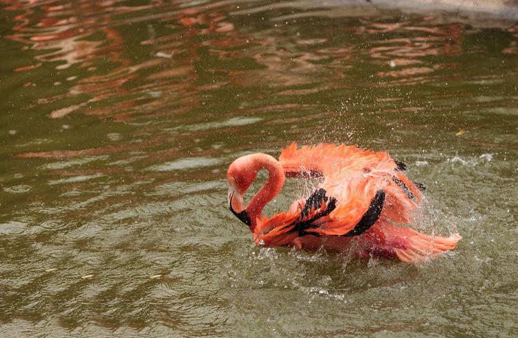 Pink Caribbean flamingo, Phoenicopterus ruber, in the middle of a flock laying eggs during breeding season. Avian Beak Bird Caribbean Caribbean Flamingos Egg Feather  Flamingo Phoenicopterus Ruber Pink Bird Pink Flamingo Pond Wild Bird Wild Birds Wildlife