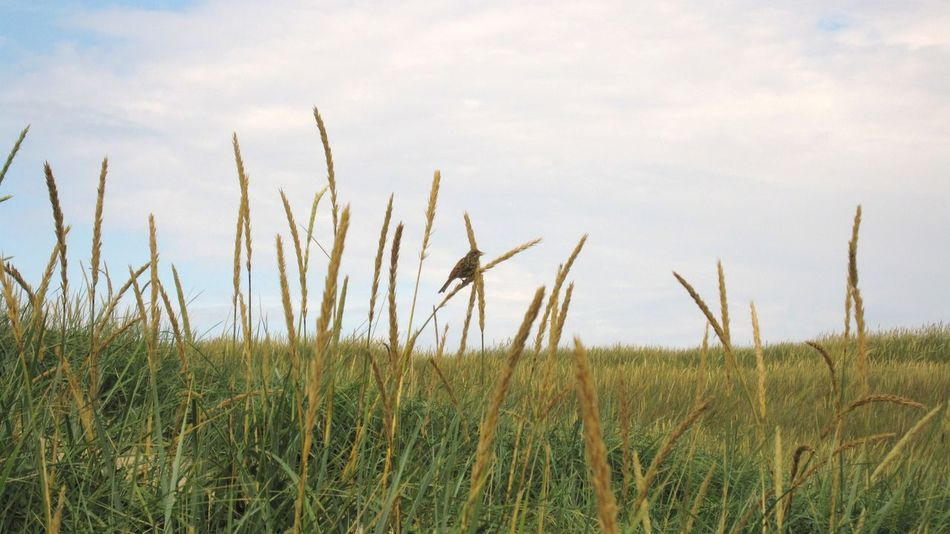 Quiet contemplation Bird Nature Naturephotography Field Grassland Grass And Sky Small Bird EyeEmNewHere Bird Photography Birds_collection Birdwatching Birds_n_branches Birdsofinstagram Birds Of EyeEm  Birds Bird Resting Bird Resting On Plant Wheat Field Wheatgrass Wheat Grass