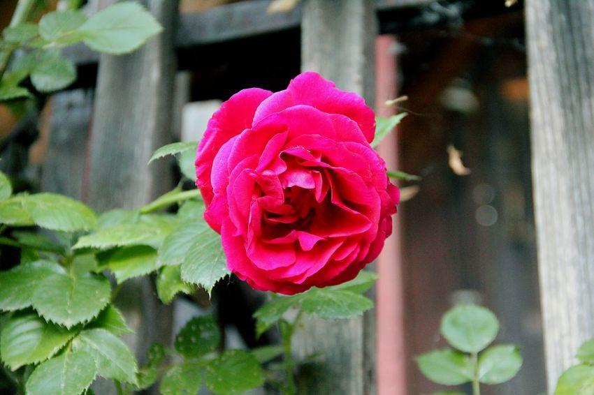 Flower Pink Nature Garden Rosé Roses Colour Of Life