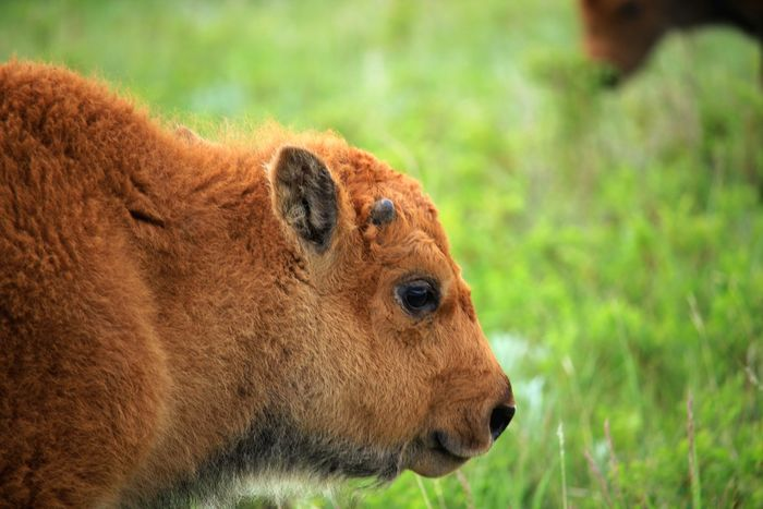EyeEm Selects Baby buffalo Animal Themes One Animal Animals In The Wild Mammal Animal Wildlife No People Day Nature Grass Outdoors baby bison Baby Animal Baby Bison Baby Buffalo