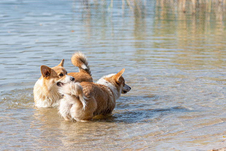 View of two dogs in lake