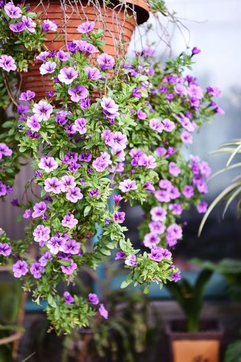 Flowering Plant Flower Plant Vulnerability  Freshness Fragility Beauty In Nature Growth Nature No People Close-up Day Pink Color Flower Head Petal Focus On Foreground Outdoors Inflorescence Purple Plant Part