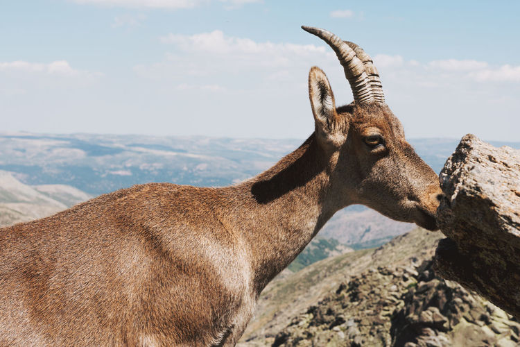 Side view of mountain goat on rock against sky