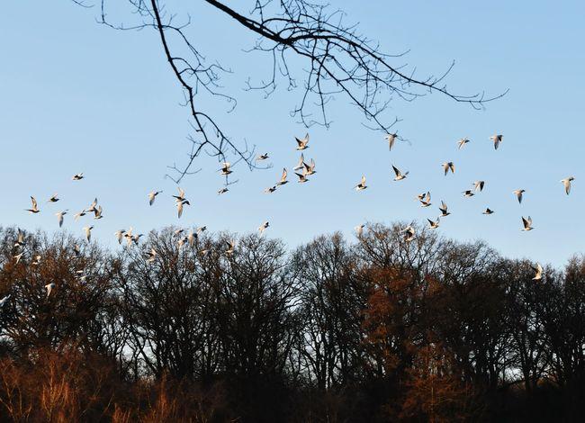 Gulls Gulls In Flight Flying Sky Sunshine Bird Warande Helmond Park Trees