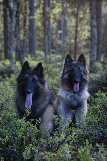 Belgian Tervueren Finland Lapland Scandinavia Animal Animal Themes Belgian Shepherd Canine Day Dog Forest Group Of Animals Land Nature No People Pets Tree Two Animals WoodLand The Traveler - 2018 EyeEm Awards