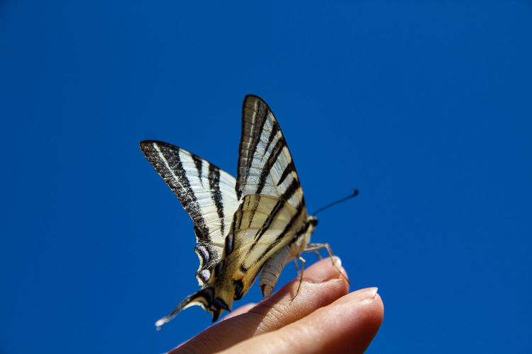Papilio Machaon Human Hand Spread Wings Butterfly - Insect Blue Insect Perching Close-up Sky Butterfly Natural Pattern Invertebrate Animal Markings Animal Wing Antenna