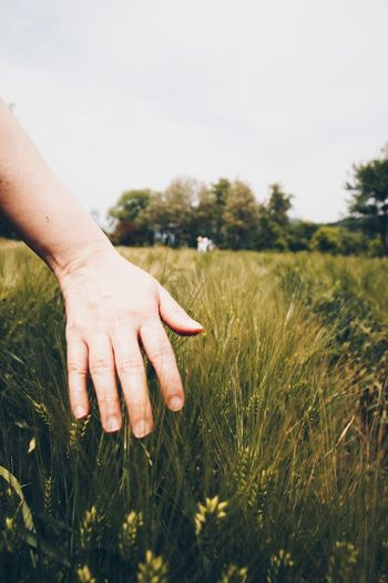 Close-up of hand holding wheat in field