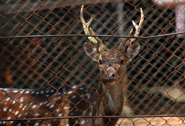 The Deer in Aceh zoo, Indonesia Animal Metal Fence Animal Themes No People One Animal Animal Wildlife Close-up Animals In The Wild Barrier Vertebrate Boundary Chainlink Fence Security Day Protection Focus On Foreground Grid Pattern Cage Outdoors Deer Mammal
