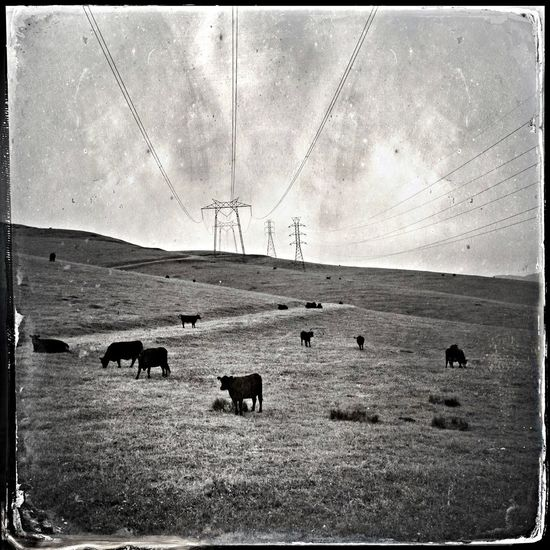 Blackandwhite Power Lines I See Cows. You've Got Me Wired