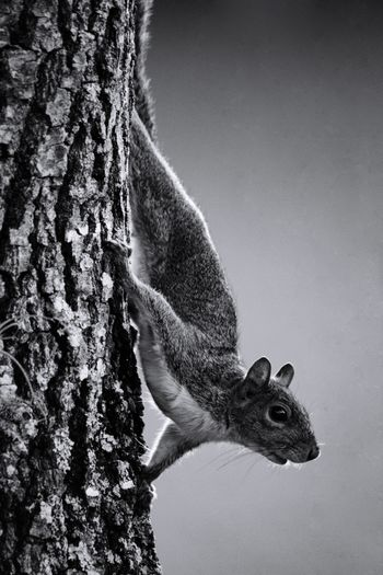 Squirrel in B&W