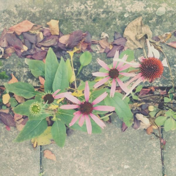 Simplycity Fragility Nature Beauty In Nature EyeEm Best Shots EyeEm Nature Lover Flower No People Day Freshness Close-up Flower Head Growth Aging Leaf Autumn Fall High Angle View Plant Outdoors Awesome Adapted To The City