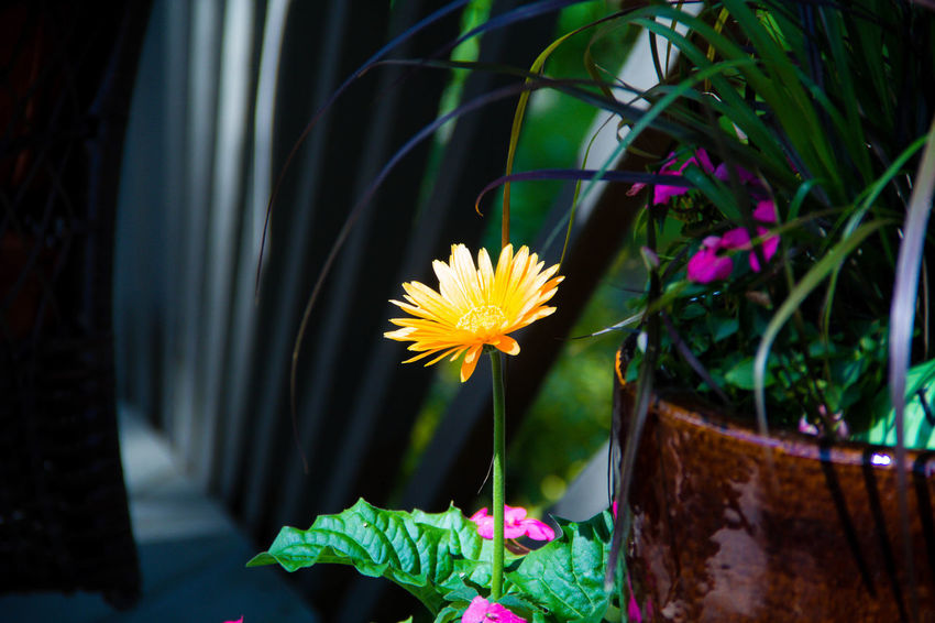 standing tall Blooming Blossom Botany Flower Flower Head In Bloom Nature Petal Selective Focus Stem Yellow