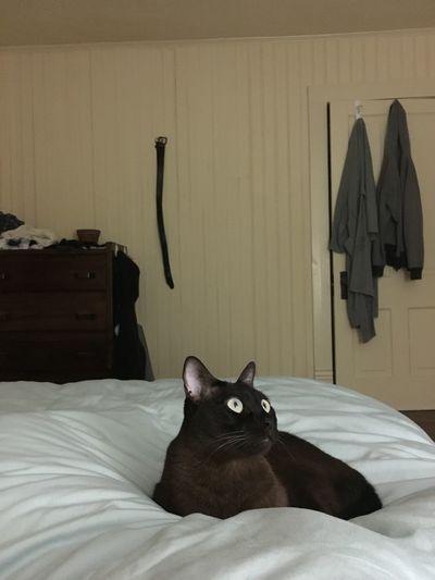 Burmese cat is ready for bed. Cat Burmese Cat Cats Big Eyes Bed Bedtime Pet Pets