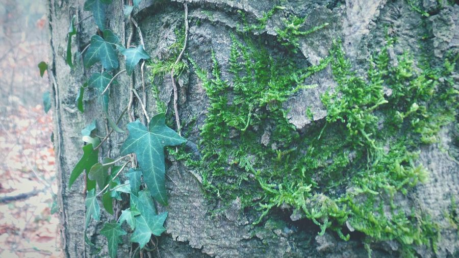 No People Nature Tree Tree Trunk Growth Leaf Day Ivy Green Color Outdoors Plant Textured  Close-up Beauty In Nature Creeper Plant Tree Bark Patterns Tree Bark Texture Forest Photography Details Textures And Shapes Details Of Nature Background Photography Screensaver Shot Abstract Nature Forest Adventure Details In Close Up
