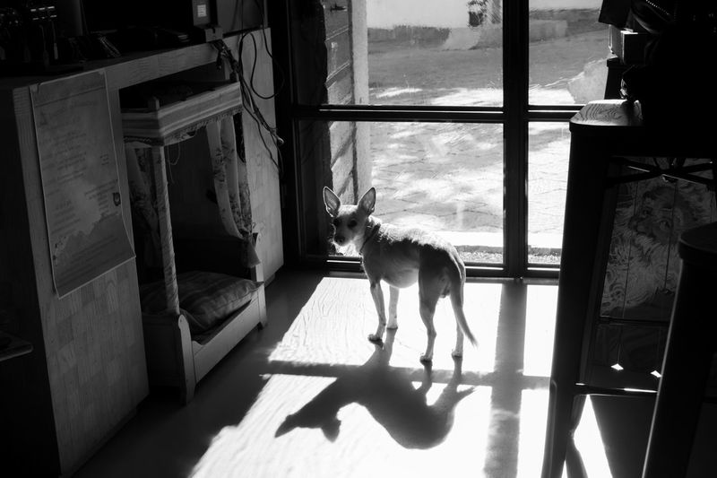 Small dog waiting in front of the french door