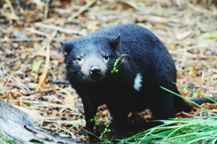 Tasmaniandevil Sadeyes Australia