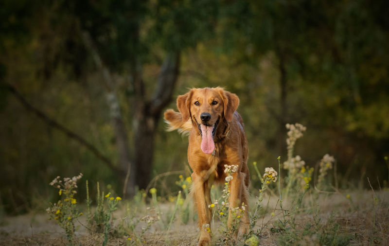 Golden Retriever dog outdoor photography Golden Retriever Nature Animal Themes Day Dog Domestic Animals Focus On Foreground Golden Hour Grass Looking At Camera Mammal Nature No People One Animal Outdoors Pets Portrait Purebred Purebred Dog Retriever Tree