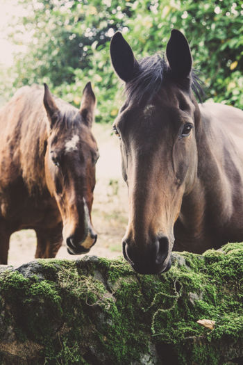 Two chestnut brown horses enjoying retirement on a thoroughbred stud farm with copy space