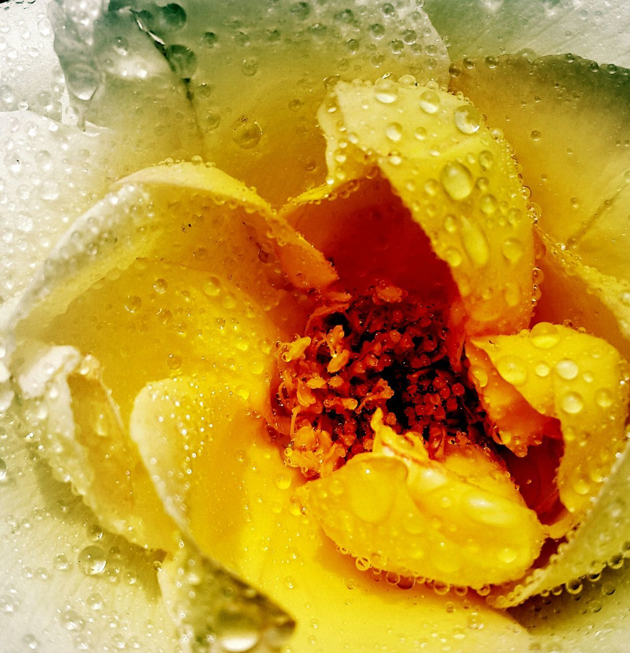 Extreme Close-Up Of Water Drops On Rose