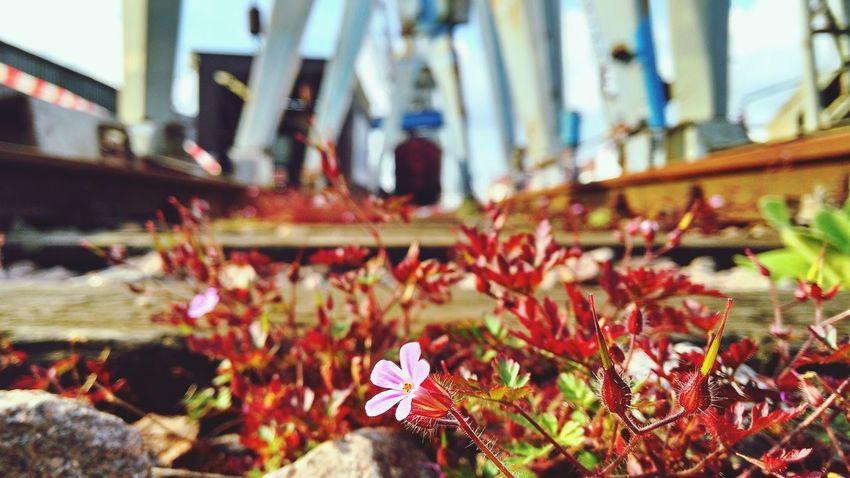 Flower Nature Outdoors Hamburg Harbour Industry Stones