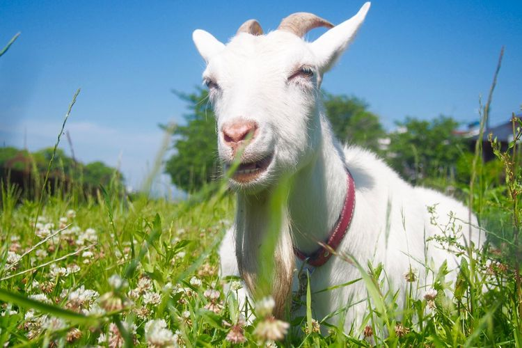 Close-up of white goat on field