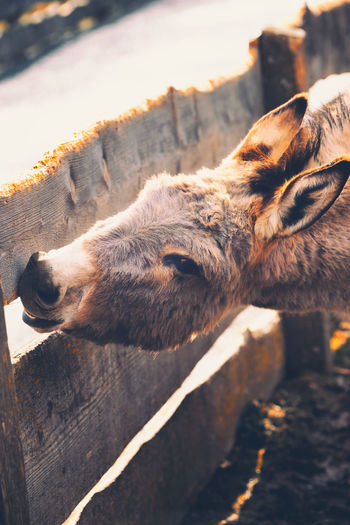 Beautiful donkey nibbling on a wooden fence Donkey Fence Wooden Fence Mammal Animal Themes Animal One Animal Pets Domestic Animals Domestic Vertebrate No People Cat Relaxation Feline Domestic Cat Lying Down Sunlight Animal Body Part Nature Close-up Day Resting Animal Head  Nibbling Nature