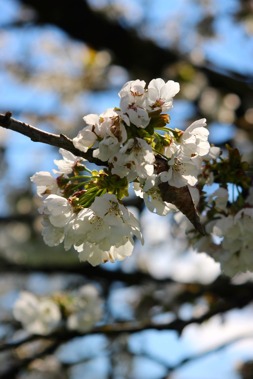 flower, fragility, white color, beauty in nature, nature, blossom, apple blossom, growth, springtime, branch, apple tree, tree, freshness, petal, botany, orchard, day, twig, focus on foreground, close-up, flower head, no people, outdoors, low angle view, plum blossom, stamen, blooming