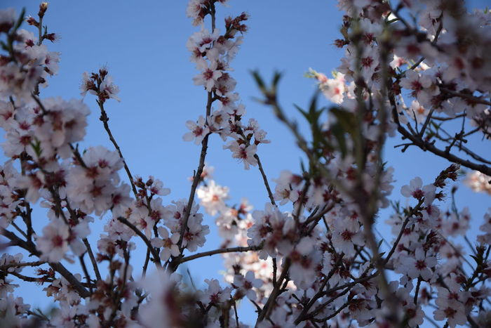 Spring or... shades of winter Almond Tree Blossom Beauty In Nature Blooming Branch Fragility Freshness Nature Shades Of Winter EyeEmNewHere