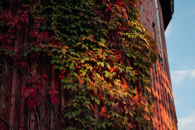 Low angle view of red ivy on shed against sky